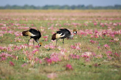 Crowned Cranes In Pink Flowers Stock Image