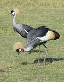 crowned cranes Royalty Free Stock Photography