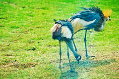 Crowned Cranes Stock Photography