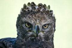 Crowned eagle Stock Image