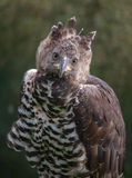 Crowned Eagle Stock Images