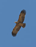 Crowned Eagle in flight Stock Photo