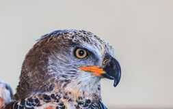 Crowned eagle is a large bird of prey Stock Photography