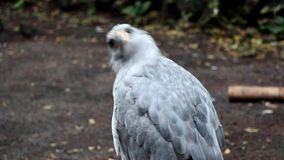 Crowned Eagle. An Crowned Eagle standing on a branch, looks around stock video