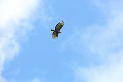 Crowned eagle Royalty Free Stock Photography