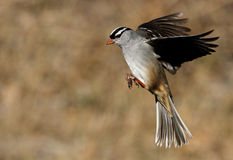 Crowned Flight. White-crowned Sparrow in flight this winter in Central Texas royalty free stock image