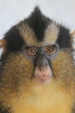 Crowned guenon Royalty Free Stock Photography