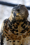 Crowned hawk-eagle. Or crowned eagle (Stephanoaetus coronatus&#x29 stock photography