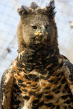 Crowned hawk-eagle. Or crowned eagle (Stephanoaetus coronatus&#x29 stock image