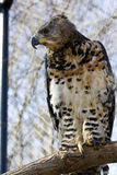 Crowned hawk-eagle. Or crowned eagle (Stephanoaetus coronatus royalty free stock image