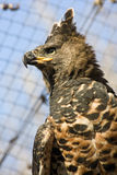 Crowned hawk-eagle. Or crowned eagle (Stephanoaetus coronatus royalty free stock images