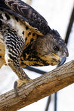 Crowned hawk-eagle claws. Crowned hawk-eagle or crowned eagle (Stephanoaetus coronatus royalty free stock photos