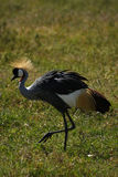 Crowned Headed Crane Royalty Free Stock Photo