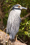 Crowned heron bird. Side portrait of crowned heron bird with leafy green background Royalty Free Stock Photo