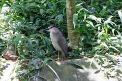 Crowned heron Stock Photography