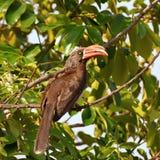 Crowned hornbill Stock Photos