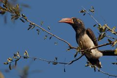 Crowned hornbill (Tockus alboterminatus) Royalty Free Stock Photo