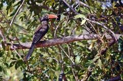Crowned hornbill (Tockus alboterminatus) Stock Images