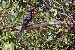 Crowned hornbill (Tockus alboterminatus) Stock Photography