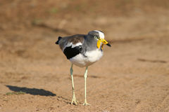 Crowned Lapwing Stock Images