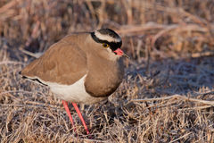 Crowned Lapwing. In Rietvlei Nature Reserve, South Africa Royalty Free Stock Image