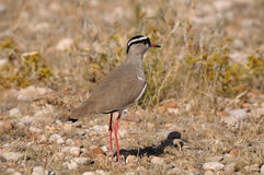 Crowned Lapwing� Royalty Free Stock Photography