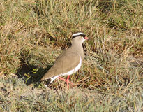 Crowned lapwing Stock Photos