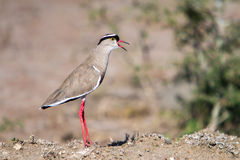 Crowned Lapwing Stock Photography