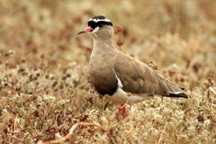 Crowned lapwing / Crowned plover Stock Photo