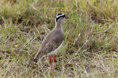 Crowned Lapwing, Kenya Stock Images