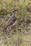 Crowned Lapwing, Kenya Royalty Free Stock Photos