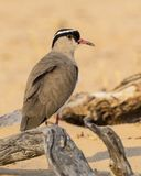 Crowned Lapwing. A Crowned Lapwing in the Kgalagadi Transfrontier Park straddling South Africa and Botswana Stock Image