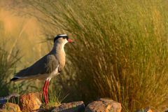 Crowned Lapwing(Plover) Stock Images