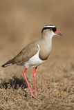 Crowned Lapwing plover Royalty Free Stock Photos