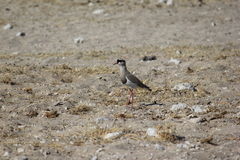 Crowned Lapwing Stock Image