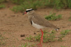 Crowned Lapwing(Plover). We take this photo near a dam in the Kruger Park Stock Image