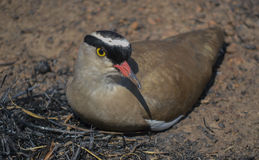 Crowned Lapwing Royalty Free Stock Photos
