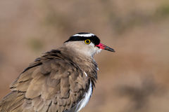 Crowned lapwing Portrait Royalty Free Stock Photography
