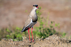 Crowned Lapwing side view Stock Images