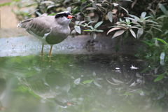 Crowned lapwing Royalty Free Stock Photo