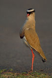 Crowned Lapwing stretching Stock Images