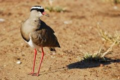 Crowned Lapwing (Vanellus coronatus) Stock Images