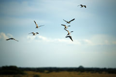 Crowned Lapwings Stock Photos