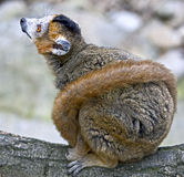 Crowned lemur 1 Stock Photo