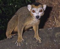 Crowned lemur. The crowned lemur, Lemur coronatus, is an inhabitant of the northern rainforests of Madagascar Stock Photos