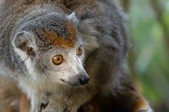 Crowned lemur 2016-01-08-00853 Royalty Free Stock Photos