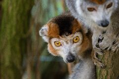 Crowned lemur 2016-01-08-00856 Royalty Free Stock Photography
