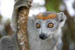 Crowned lemur. Peering curiously out from behind the tree Royalty Free Stock Images