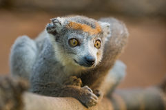Crowned Lemur. (eulemur coronatus). Vulnerable and endemic to Madagascar. Antananarivo Zoo, Madagascar Royalty Free Stock Photography