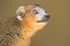 Crowned Lemur. Wild Crowned Lemur in Madagascar Royalty Free Stock Photo